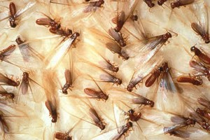 closeup of female termites with wings