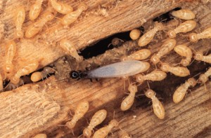 large colony of termites