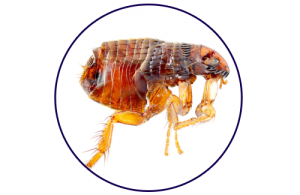 closeup of a flea