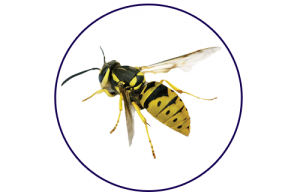 yellow wasp photo