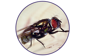 closeup of housefly