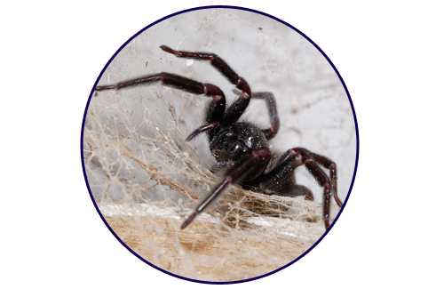 Black-House-Spider